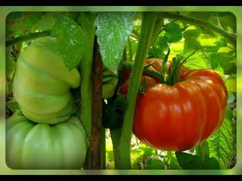 Сорта томатов для северных районов