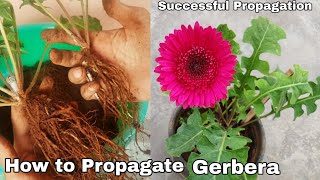 How To Propagate Gerbera Plant, Seperating Baby Plant In Gerbera Daisy (with Update)