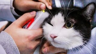 [Cat Live] Blood Crossmatching Test before an Indoor cat to save a Stray cat