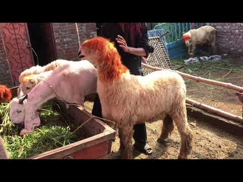 Bakra mandi mundra chatra bakra kajla chatra ali goat