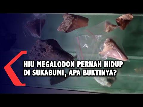 Penemuan Fosil Gigi, Bukti Hiu Megalodon Pernah Hidup di Sukabumi