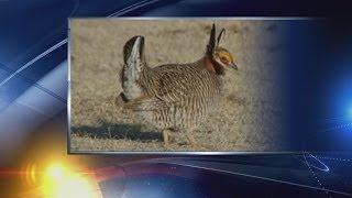 Feds declare lesser prairie chicken endangered