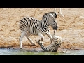 Download Youtube: Zebra Tries to Kill Foal While Mother Fights Back