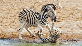 Zebra Tries to Kill Foal While Mother Fights Back | Kholo.pk
