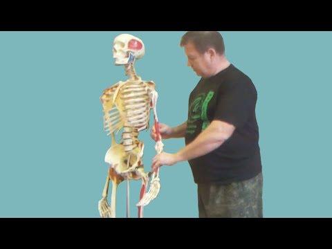Анатомия и биомеханика плечевого пояса. Мышечные цепи, функции пояса верхних конечностей