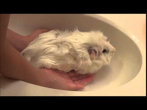 Caring For A Guinea Pig By Lauren S Tips Musely