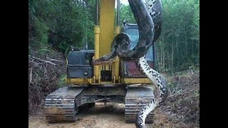 WORLD'S BIGGEST SNAKE EVER (REAL FOOTAGE CAPTURED)