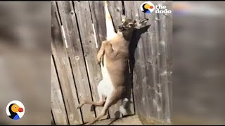 CRYING Deer Stuck in Fence Rescued by GREAT Guy | The Dodo
