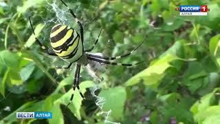 В Алтайском крае обнаружили паука-осу