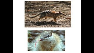 The numbat is an endangered animal