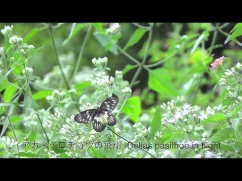 アカネシロチョウのメスの飛翔 スロー動画