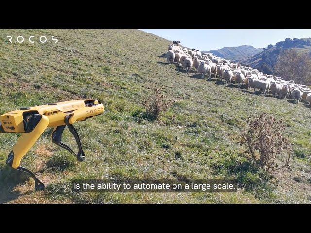 Робот Spot получил подключение к облаку и отправился пасти овец в Новой Зеландии