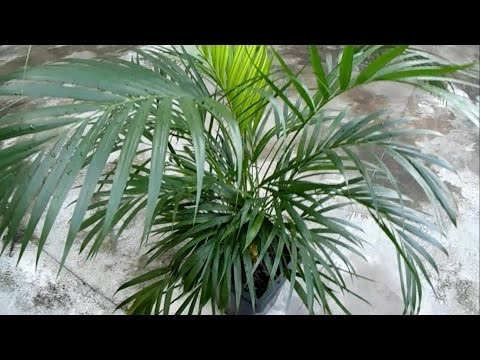 Goldfruchtpalme oder Zimmerpalme - Dypsis Lutescens