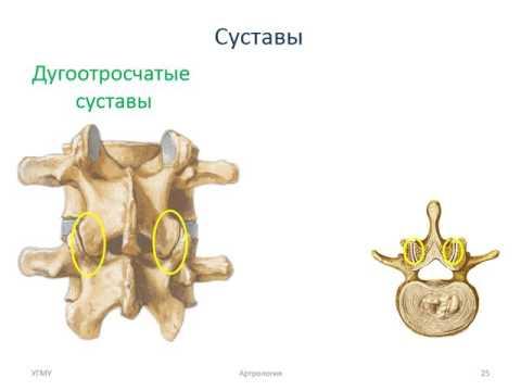 Общая артрология. Соединения костей скелета туловища