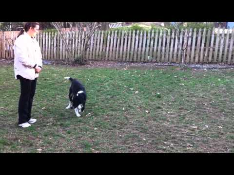 Terrific Dogs Presents: Training Sample- Riley in Backyard with Parents No Sweeky
