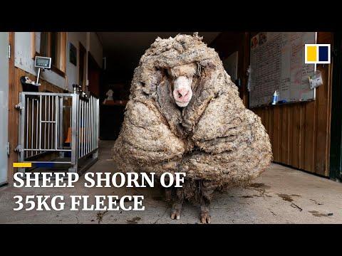 Incredible Transformation - Saving a Lost Sheep