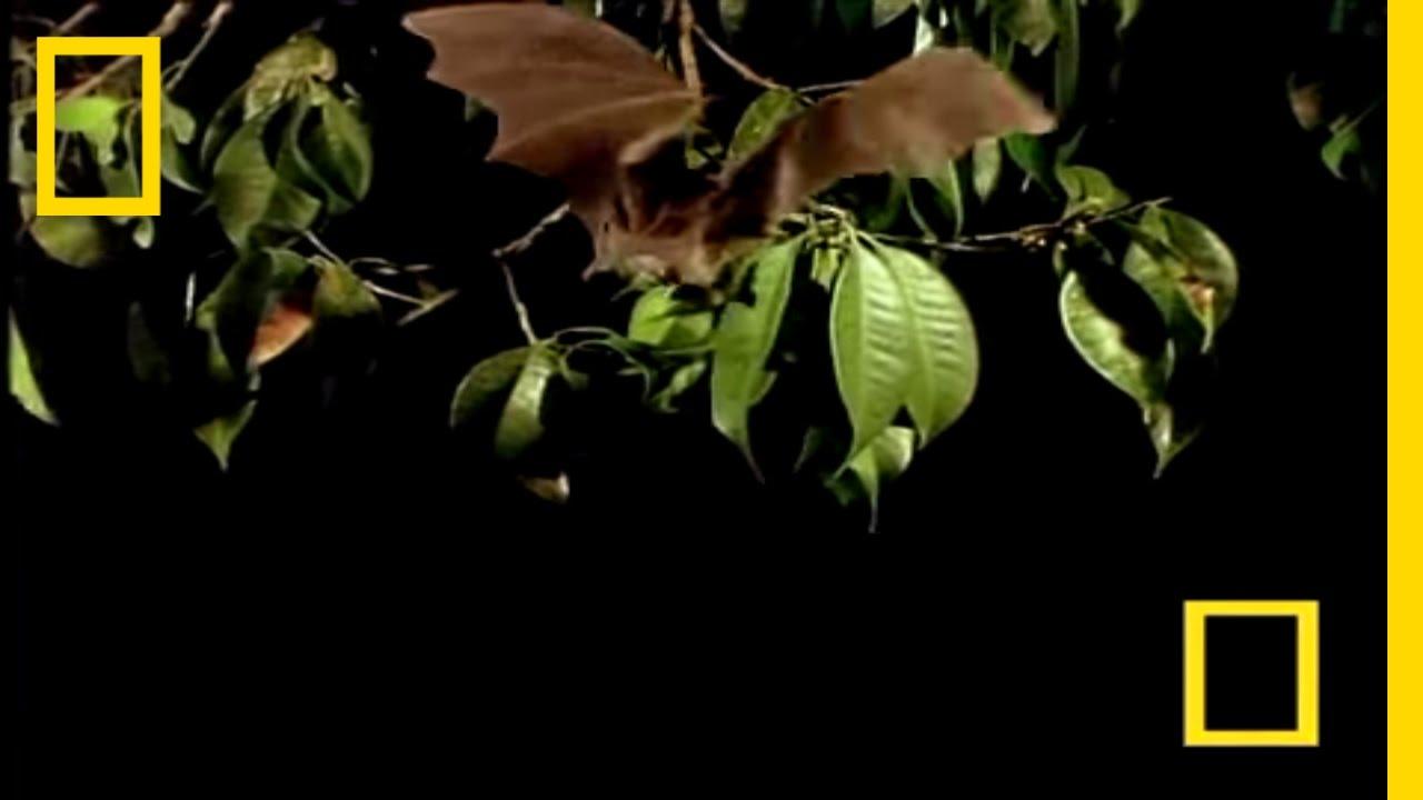 Vampire Bat vs Wrinkle Bat | National Geographic thumbnail