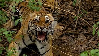 Getting Too Close To A Wild Tiger | Deadly 60 | Earth Unplugged