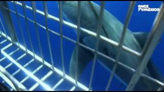 Entre Mares - Jatay, gran tiburón blanco