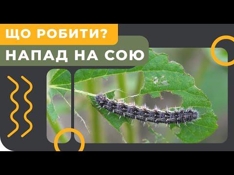 Гусеница уничтожает посевы. Как бороться?