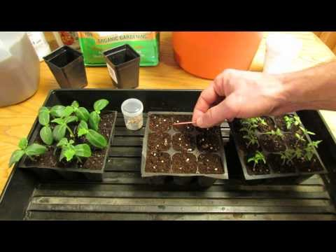 , title : 'For New Gardeners: How to Start/Plant Tomato Seeds Indoors for Transplants - MFG 2014