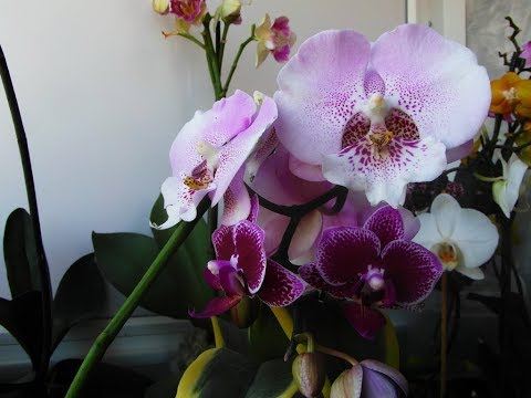 Во что сажать орхидеи -  фаленопсисы?!