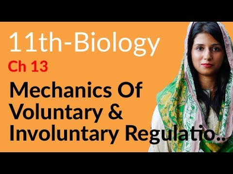 Respiration In Man Biology - Biology Ch 13 Gaseous Exchange