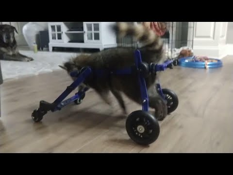 An Arkansas baby raccoon is now walking again with the aid of a wheelchair after a brain injury had hindered her mobility. The company that built the wheelchair said the raccoon, named Vittles, had trouble balancing at 8 weeks old. (Aug. 13)