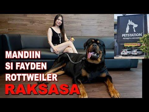 MANDIIN SI FAYDEN ANJING ROTTWEILER RAKSASA DI PET STATION SURABAYA