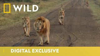 World Lion Day | August 10th - Official Trailer | National Geographic Wild UK  IMAGES, GIF, ANIMATED GIF, WALLPAPER, STICKER FOR WHATSAPP & FACEBOOK