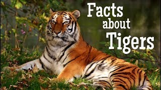 Tiger Facts for Kids | Classroom Learning Video