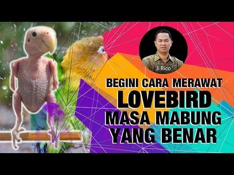 Video Ji Rico - BEGINI CARA MERAWAT LOVEBIRD MASA MABUNG YANG BENAR