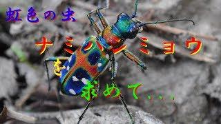 虹色に輝く虫ナミハンミョウを追え!前編