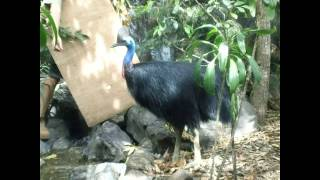 Cassowary Endangered Australian species