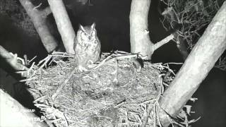 Great Horned Owls - Night Time Infra Red Nest Cam