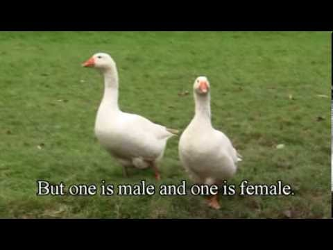 , title : 'How To Tell The Difference Between A Goose And A Gander