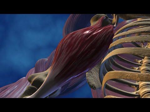 Les muscles de la poitrine dans leau