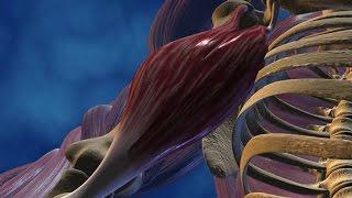 Le muscle moteur du mouvement
