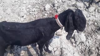 beetal goats for sale in punjab pakistan - pure nagri goat