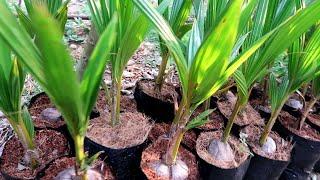 തെങ്ങ് മൂന്നാം വർഷം കായ്ക്കാൻ  Coconut Planting Tips