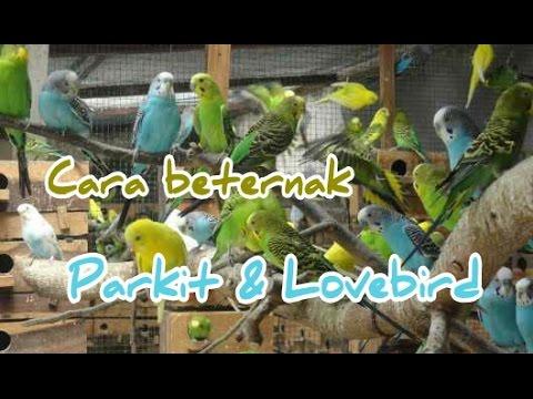 Video Cara Beternak Parkit & Lovebird