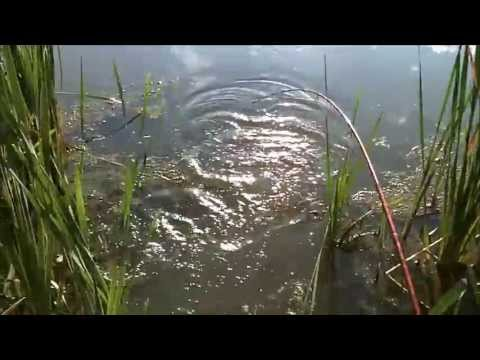 Pond bass fishing 8/23/13 (Swim jig, trick worm, beaver)