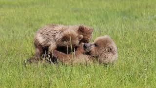 Brown Bear Cubs Nursing