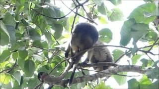 2015-10-12 Tree Kangaroo, Yungaburra