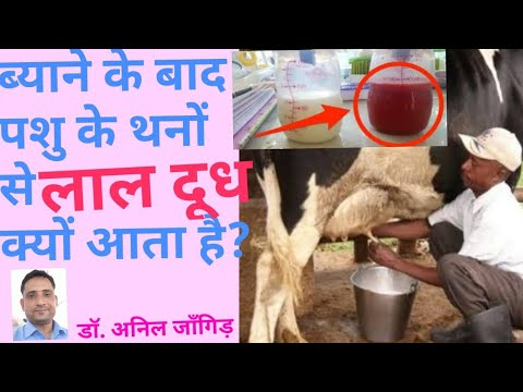 , title : '👌Red milk(लाल दूध) in Cow/Buffalo after parturition..
