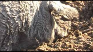 Ahol a kurta farkú malac túr, és még a farkát sem kurtítják