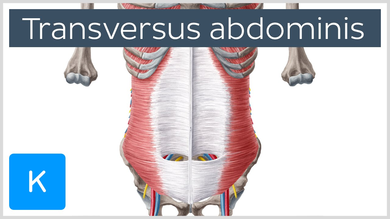 Video: Transversus abdominis muscle | Kenhub