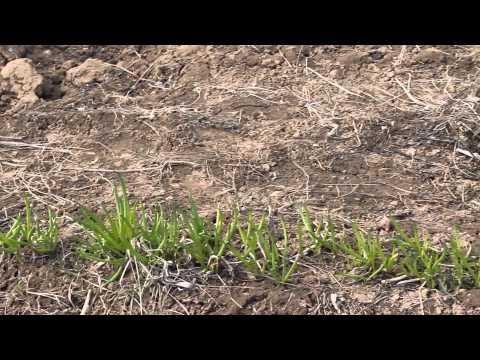 Советы по выращиванию лука-батуна и чеснока.