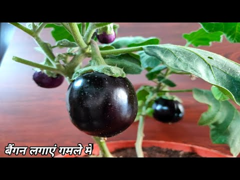, title : 'How to grow brinjal plant in pots|Grow eggplant at home|how to grow desi baingan|बैंगन कैसे उगाएं