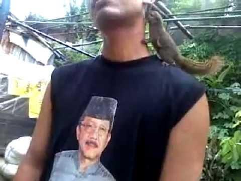 Video melatih tupai kelapa supaya bisa mencium leher